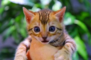 ベンガル猫の飼育